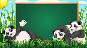 Board design with three pandas on grass Stock Image