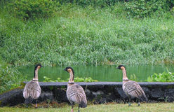 Board of Directors Meeting. This is a picture of three nene geese having a meeting by a pond in Hilo, Hawaii Stock Photo