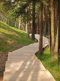 Board path in the coniferous wood.  Stock Photo