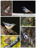 Board of six different species of french birds. As eurasian blue jay, black redstart, wood nuthatch, chaffinch, hedge accentor and great spotted woodpecker Stock Photo