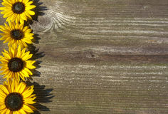 Board with sunflowers concept. Dark board with sunflowers concept Royalty Free Stock Photography