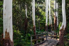 Boarded walkway on a path through eucalyptus trees with bare white trunks in NSW, Australia Royalty Free Stock Photos