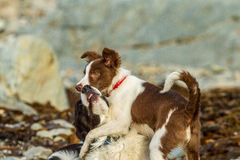Boarder collie. S at play on the beach near perran in cornwall, it is a rocky beach with lots of sea weed Stock Photo