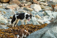 Boarder collie Stock Images