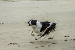 Boarder collie Stock Photography