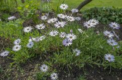 Boarder Flowers. View of a large group of Osterpemum in a garden boarder Royalty Free Stock Image