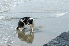 Boardercollie på stranden Royaltyfri Bild