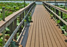 Boardwalk above Pond filled with Pink Sacred Lotus Flowers Stock Photo