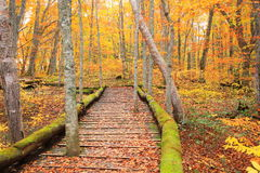Boardwalk in autumn forest Royalty Free Stock Photography