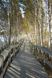 Boardwalk and birch trees Stock Images