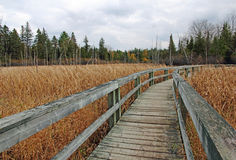 Boardwalk in bulrushed filled marsh Royalty Free Stock Images