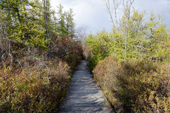 Boardwalk Through Cranberry Bog in Mountain Forest Royalty Free Stock Photo