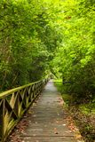 Boardwalk in dense rainforest Royalty Free Stock Image