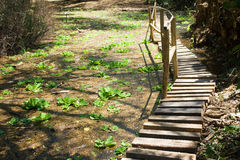 Boardwalk through dense vegetation Stock Photo