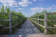 Boardwalk through a field of corn  Royalty Free Stock Image