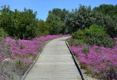 Boardwalk in the field in spring Royalty Free Stock Photography