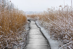 Boardwalk with frozen reeds Royalty Free Stock Photo