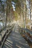 Boardwalk i brzozy drzewa Obrazy Stock