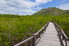 boardwalk lasu mangrowe obrazy royalty free