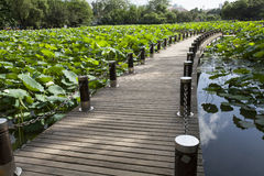 boardwalk on lotus pond Stock Photos