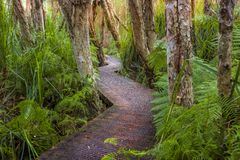 Boardwalk through lush coastal rainforest and swamp lands. Exploring Victoria. Hiking along a boardwalk through the lush coastal rainforest and swamp lands after royalty free stock images