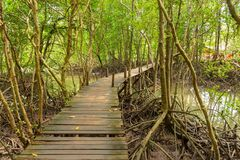 Boardwalk and mangrove forest Royalty Free Stock Images