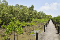 Boardwalk in mangroves field, Rayong, Thailand. Stock Photography