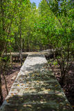 Boardwalk through the mangroves Royalty Free Stock Photography