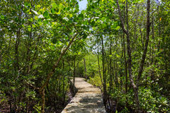 Boardwalk through the mangroves Stock Photo