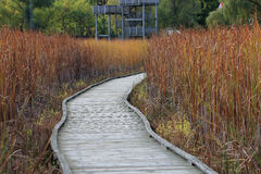 Boardwalk through a marsh, lined with reeds Stock Image
