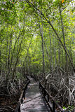 Boardwalk for nature trail in mangrove forest Stock Photos