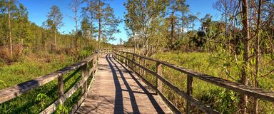 Boardwalk path at Corkscrew Swamp Sanctuary in Naples. Florida through pond cypress trees Taxodium distichum var nutans Royalty Free Stock Photo