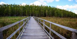 Boardwalk path at Corkscrew Swamp Sanctuary in Naples, Florida. Leads to a Thick wall of pond cypress trees Taxodium distichum var nutans Stock Photo