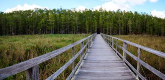 Boardwalk path at Corkscrew Swamp Sanctuary in Naples, Florida. Leads to a Thick wall of pond cypress trees Taxodium distichum var nutans Stock Photos