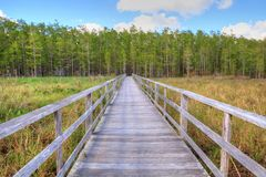 Boardwalk path at Corkscrew Swamp Sanctuary in Naples, Florida. Leads to a Thick wall of pond cypress trees Taxodium distichum var nutans Stock Photography