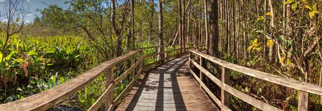 Boardwalk path at Corkscrew Swamp Sanctuary in Naples. Florida through pond cypress trees Taxodium distichum var nutans Stock Image