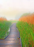 Boardwalk path in swamp. Wooden boardwalk path in swamp with reeds in foggy morning Royalty Free Stock Photo