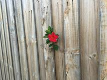 Flower. Sticking out of a wooden fence Royalty Free Stock Image