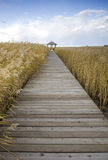 Boardwalk through reed field Stock Image