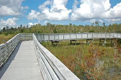 Boardwalk in swamp park. Nature trail in the everglades over wetland swamp stock photography
