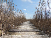 Boardwalk in swampland with reeds Stock Images