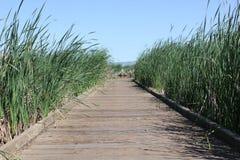 Boardwalk through tall reeds Stock Photos