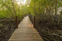 Boardwalk to sightseeing nature mangrove forest and sunset backg Stock Image