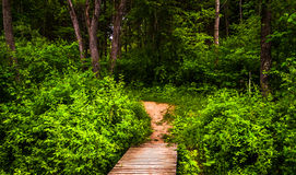 Boardwalk trail and lush spring forest in Codorus State Park Royalty Free Stock Images