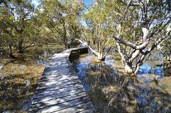 Boardwalk on the Waitangi river, New Zealand. This boardwalk crosses the Waitangi river, then a mangrove swamp before the track reaches the Haruru Falls from the stock image