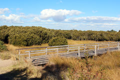 Boardwalk Through White mangrove Colony Stock Images