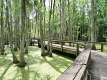 Boardwalk winding through marsh land with Cypress trees growing Stock Photos
