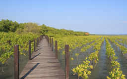 Boardwalk wooden path over river surrounded mangrove forest Stock Photos