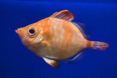 Boarfish Capros aper stock image