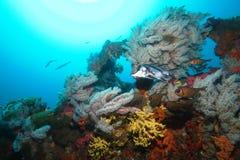 Boarfish e spugne variopinte sul relitto di Claris Fotografia Stock